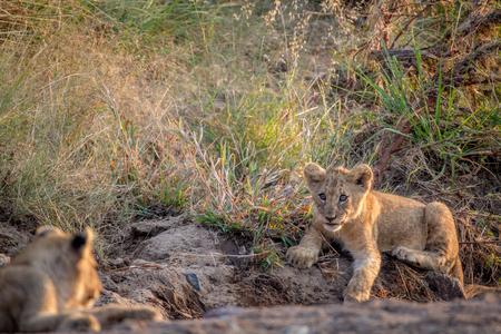 Lionceau portant dans un lit de rivière à sec dans le parc national de Pilanesberg, en Afrique du Sud. Banque d'images