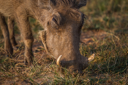 Close up of a Warthog eating in the Pilanesberg National Park, South Africa.