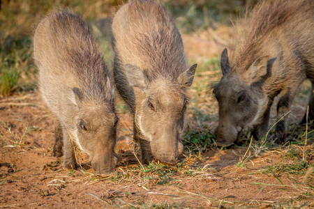 Group of Warthogs eating grass in the Pilanesberg National Park, South Africa. Stock Photo