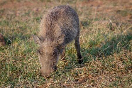 Warthog eating grass in the Pilanesberg National Park, South Africa. Stock Photo