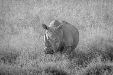 White rhino bull standing in black and white in the grass in South Africa. Stock Photo