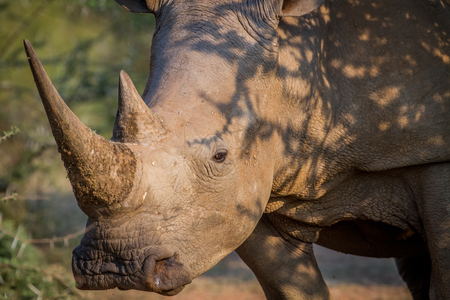 Side profile of a White rhino in South Africa.
