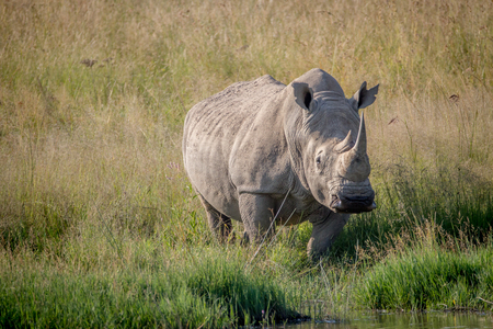 White rhino bull standing in the grass by the water in South Africa. Stock Photo