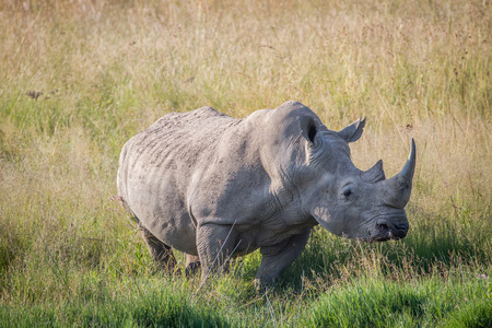 White rhino bull standing in the grass in South Africa. Stock Photo