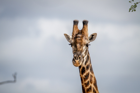 Close up of a male Giraffe in the Pilanesberg National Park, South Africa. Stock Photo