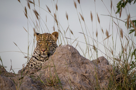 Young Leopard laying down on a Termite mount in the Kruger National Park, South Africa.