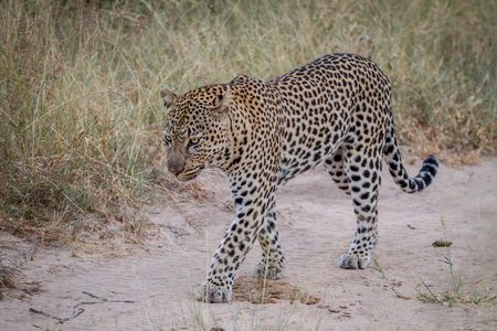 Leopard walking on a sand road in the Kruger National Park, South Africa.