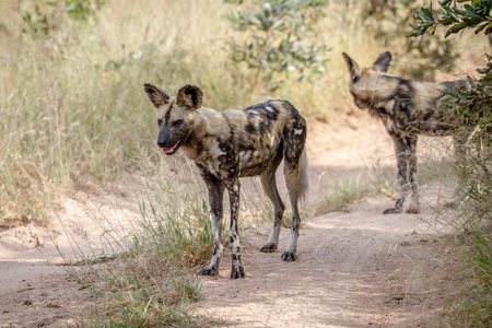 Two African wild dogs standing on the road in the Kruger National Park, South Africa.