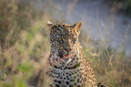 Young Leopard sitting and starring in the Kruger National Park, South Africa.