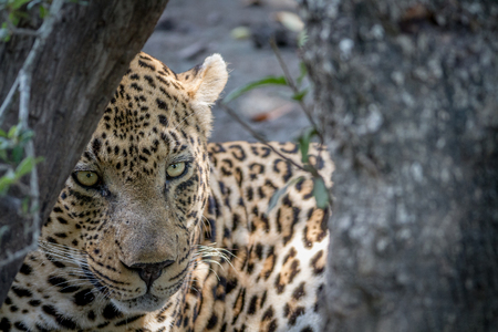 Big male Leopard hiding behind a tree in the Kruger National Park, South Africa. Stock Photo