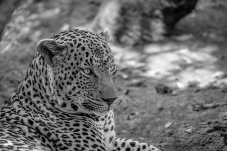 Big male Leopard close up in black and white in the Kruger National Park, South Africa. Stock Photo