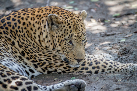 Big male Leopard laying down in the Kruger National Park, South Africa.