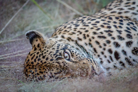 Female Leopard laying in the grass in the Kruger National Park, South Africa.