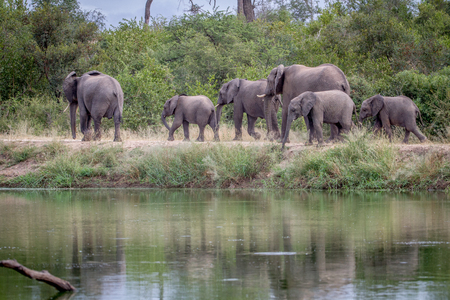 Herd of Elephants walking next to the water in the Kruger National Park, South Africa.