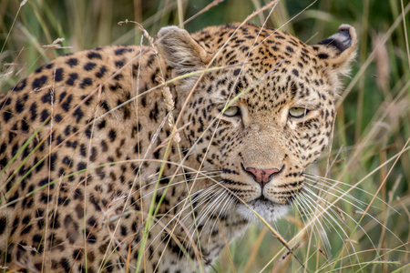 Leopard hiding in the high grass in the Kruger National Park, South Africa.