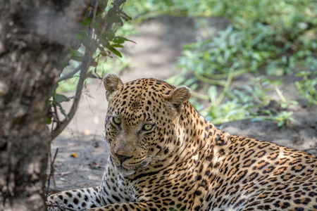 Big male Leopard close up in the Kruger National Park, South Africa. Stock Photo