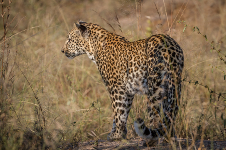Leopard starring at something in the grass in the Kruger National Park, South Africa. Stock Photo