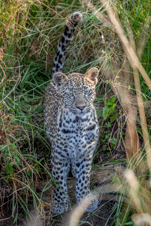 Young Leopard in between the grass in the Kruger National Park, South Africa.