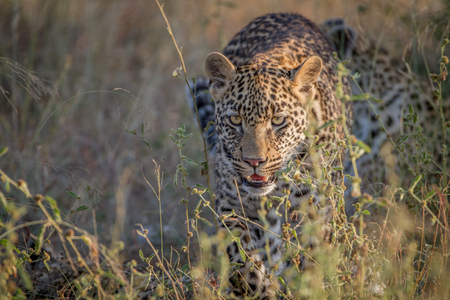 Young Leopard walking towards the camera in the Kruger National Park, South Africa.
