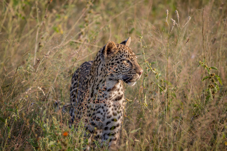 Young Leopard standing in the grass in the Kruger National Park, South Africa.