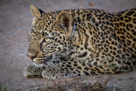 Young Leopard stalking his sister in the Kruger National Park, South Africa.
