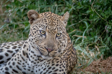 Big male Leopard laying down in the grass in the Kruger National Park, South Africa. Stock Photo
