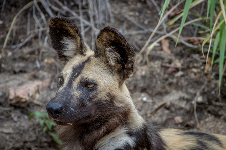Close up of an African wild dog in the Kruger National Park, South Africa. Stock Photo