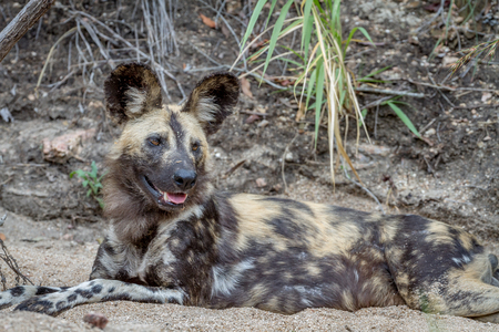 African wild dog laying in the sand in the Kruger National Park, South Africa.