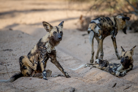 African wild dog sitting in the sand in the Kruger National Park, South Africa.