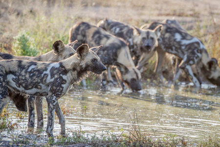 Pack of African wild dogs drinking at a water pool in the Kruger National Park, South Africa.