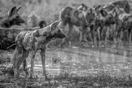 Pack of African wild dogs drinking at a water pool in black and white in the Kruger National Park, South Africa. Stock Photo