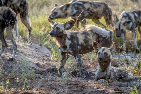 Pack of African wild dogs in the grass in the Kruger National Park, South Africa. Stock Photo