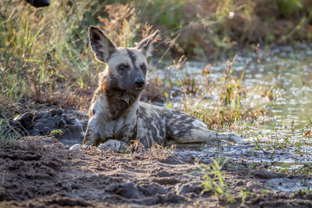African wild dog laying next to the water in the Kruger National Park, South Africa.