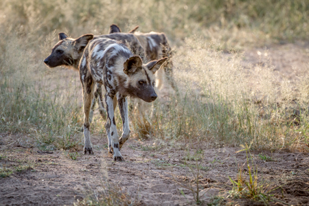 African wild dog looking down at something in the Kruger National Park, South Africa.