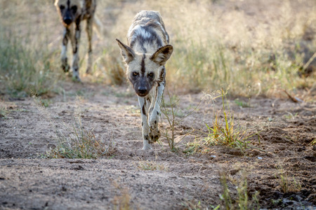 African wild dog walking towards the camera in the Kruger National Park, South Africa.