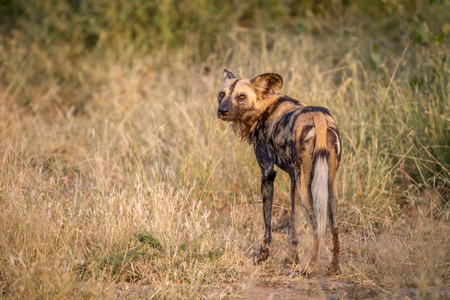 African wild dog looking back in the Kruger National Park, South Africa.