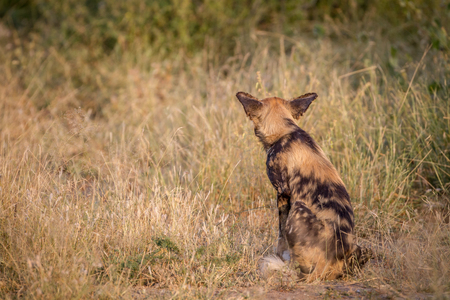 African wild dog starring at something from behind in the Kruger National Park, South Africa. Stock Photo
