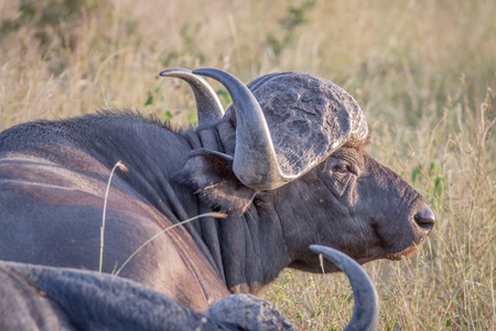 Side profile of an African buffalo in the Kruger National Park, South Africa.