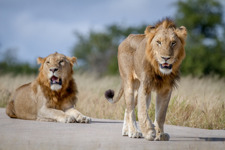 Two Lion brothers on the road in the Kruger National Park, South Africa. Stock Photo