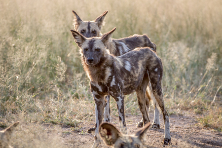 African wild dogs standing in the grass in the Kruger National Park, South Africa.