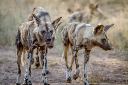 towards: African wild dogs walking towards the camera in the Kruger National Park, South Africa. Stock Photo
