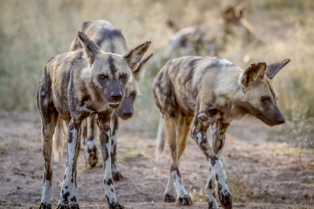 African wild dogs walking towards the camera in the Kruger National Park, South Africa. Stock Photo