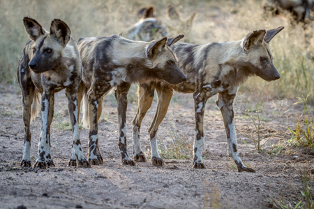 African wild dogs starring around in the Kruger National Park, South Africa.