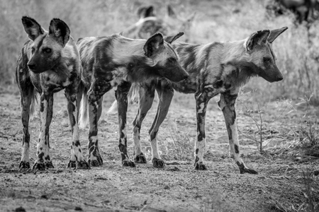 African wild dogs starring around in black and white in the Kruger National Park, South Africa.