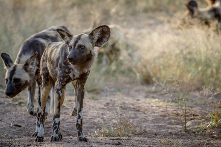 African wild dog standing on dirt in the Kruger National Park, South Africa.