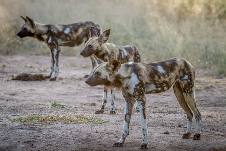 African wild dogs starring in the Kruger National Park, South Africa. Stock Photo