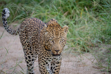 Leopard walking in the sand in the Kruger National Park, South Africa. Stock Photo