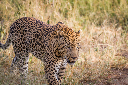 game drive: Big male Leopard walking in the grass in the Kruger National Park, South Africa.