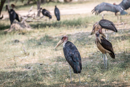 Marabou storks standing in the grass in the Kruger National Park, South Africa. Stock Photo