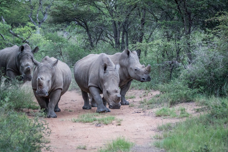 Group of White rhinos standing in the middle of the road in South Africa. 免版税图像